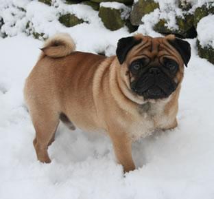 Caerurfa Pugs North Yorkshire Pug Breeders